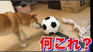 柴犬ハナ サッカーボールはとっても怖いんです -- Shiba plays soccer ball.--