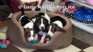 Little Rascals Uk Breeders New Litter Of Bassett Hounds