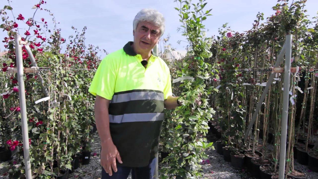 Plantas trepadoras para el jard n youtube - Plantas para vallas ...