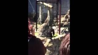 チンパンジーが芸をする様子をiPhone4で撮影.