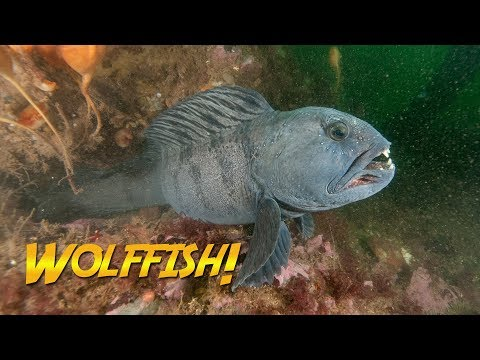 Diver Hand-feeds A Wolffish!