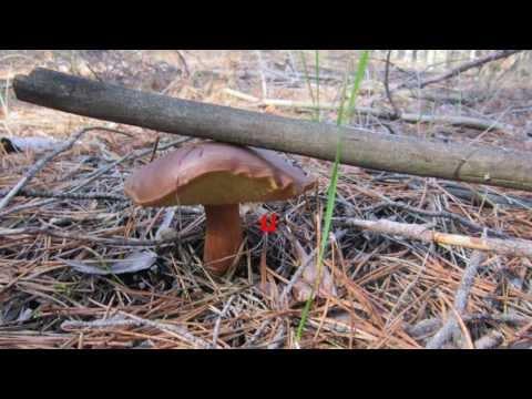 Польский гриб в Луганской области