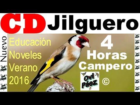 CD Goldfinch  Chardonneret jilguero 4 hours summer 2016