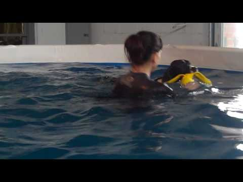 Field Bred English Springer Spaniel Swimming