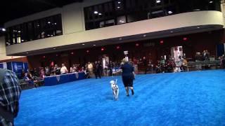 Central Florida Kennel Dog Show (orlando, Fl 12/16/11) - Dalmatian Dog (male) Judging