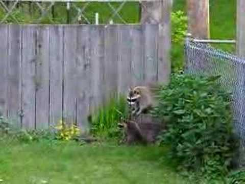 baby raccoons climbing fence