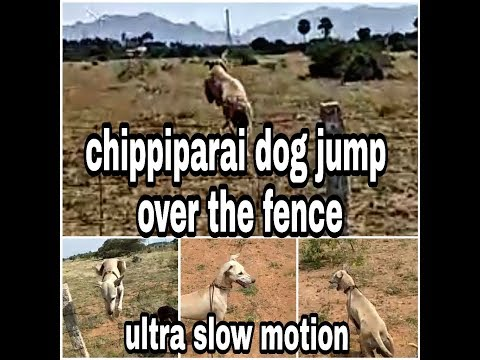 Amazing Chippiparai (kanni) dogs jumping over the fence | Tamilnadu dog breeds| Indian hound