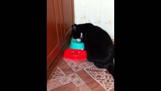 Кот лапой пьет воду