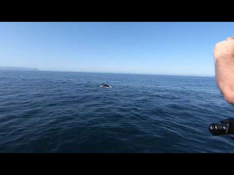 Southern right whale in Hermanus1