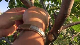 CEVİZDE YAMA AŞI UYGULAMASI/ grafting of walnuts