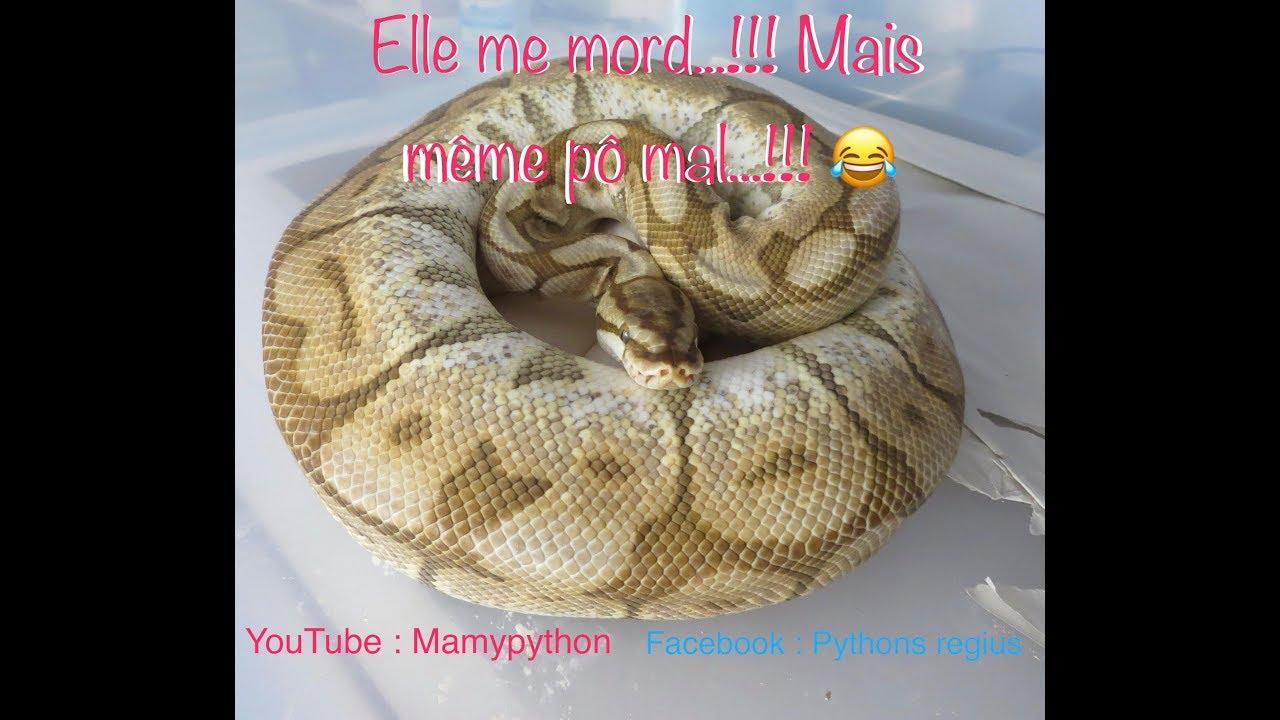 Bien connu Morsure Python regius Ponte N°2 2017 Femelle Butter Spider - YouTube KW37
