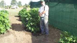 Update On Outdoor OREGON Marijuana Grow...Day 47 in the Ground...