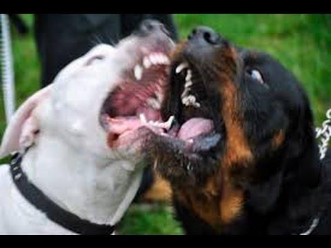 Briga Dog Rottweiler Não Afinando Para Cachorro Maior