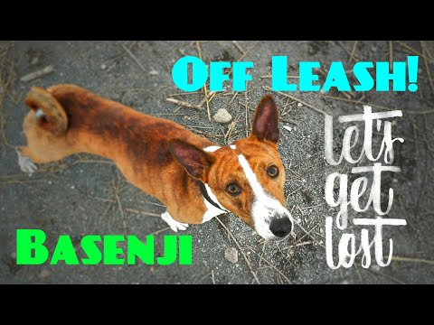 Basenji running OFF LEASH and coming back when called!
