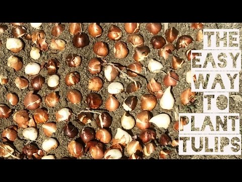 How to Plant Tulip Bulbs - Fast and Easy Cut Flower Farm How to Grow Flowers Gardening Container DIY