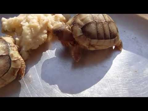 С Днём...Рождения ! ))Первые минуты жизни черепашек ))