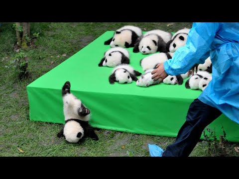 حاول العلماء في الصين وضع 11 باندا في مكان واحد... أنظروا ما حدث  - نشر قبل 8 ساعة