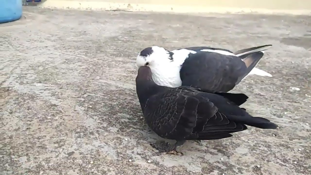 Baby pigeon growth ( part 3 ) - YouTube
