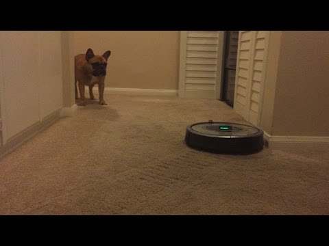 French Bulldog Teddy Meets Roomba