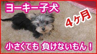 ヨーキー子犬4ヶ月 小さくても負けないもん! ご視聴ありがとうござい...