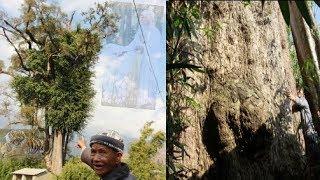 Bí ẩn 'Cây thần' khổng lồ ngàn tuổi không ai dám đến gần ở Sơn La