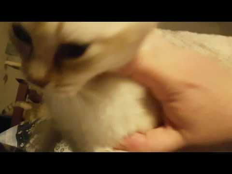 Aster Burmilla Kitten Demanding Attention