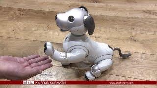 """Click: """"Айбо"""" атту акылдуу  робот күчүк - BBC Kyrgyz"""