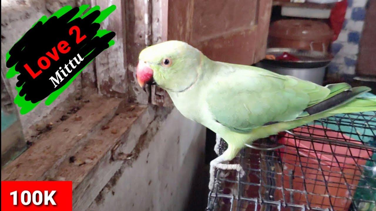 Masti Time mittu 💞💞   very cute Indian ringneck parrot 💕  parrot masti    Chirag mittu videos