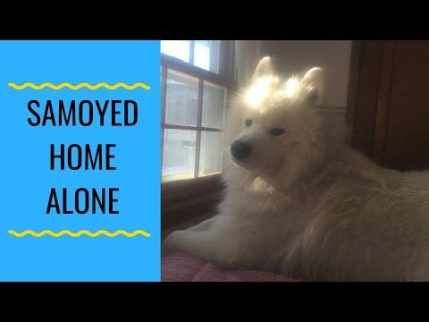 Samoyed Dog Left Home Alone