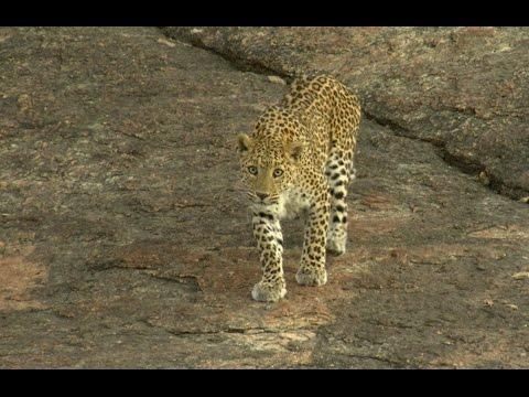 Living with leopards - A 'Sanjay Gandhi National Park, Mumbai' Experience