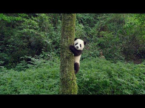 PANDAS - OFFICIAL TEASER [HD]