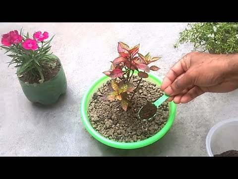 How to use tea fertilizer for any plants | Homemade organic fertilizer