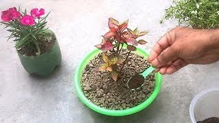How to use tea fertilizer for any plants   Homemade organic fertilizer