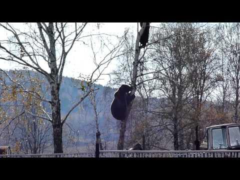 Красноуфимск. Медведь лезет за мужиком на березу.
