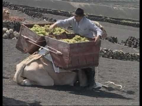 Lanzarote Wine harvest