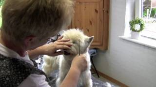 Westie Grooming Five Times A Year
