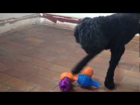 black-miniature-poodle-linus-plays-with-kong-genius-and-zukes-treats