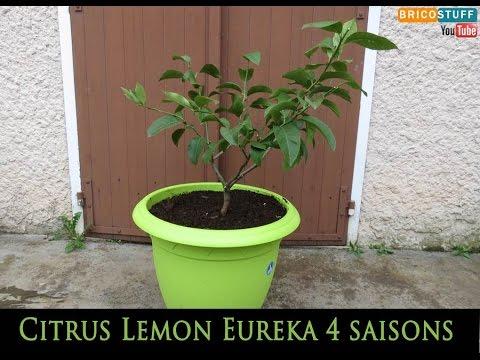 Rempotage et taille d'un citronnier 4 saisons - Citrus Lemon Eureka