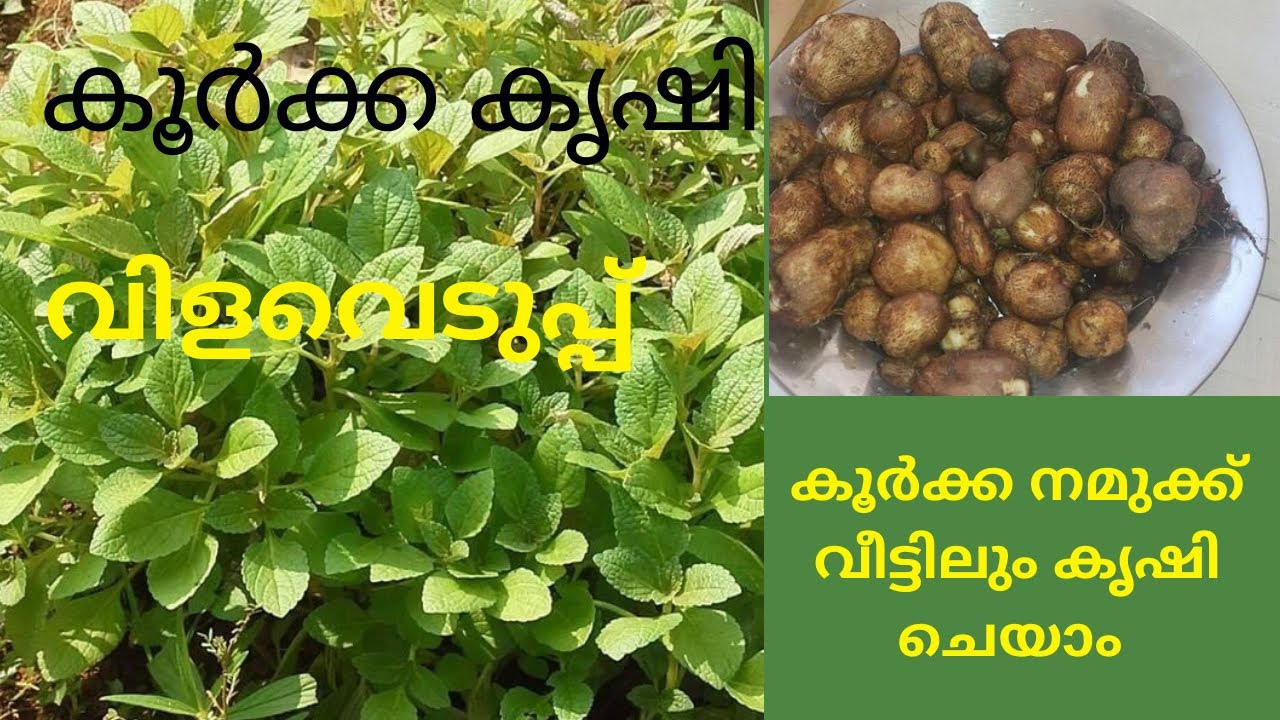 How To Grow Chinese Potato/കൂർക്ക വിളവെടുപ്പ്🌿Lockdown koorkka krishi.