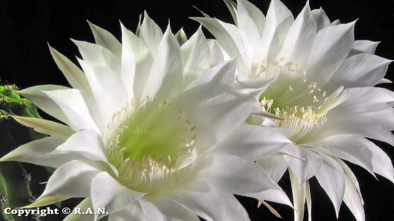 Cactus Flowers Opening Time Lapse Echinopsis Oxygona Youtube