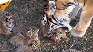 Kırım'daki safari parkında Amur kaplanı yavruları heyecanı