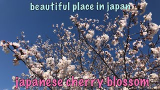 beautiful places in japan. japanese cherry blossom.