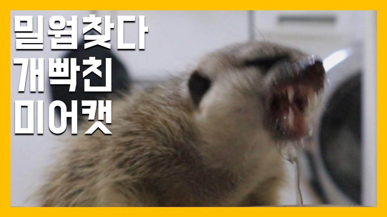 밀웜찾다 개빡친 미어캣 [냥이아빠]