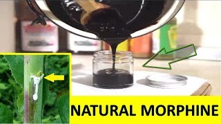 Best Medicinal Plant to Extract Natural Morphine And Their Uses