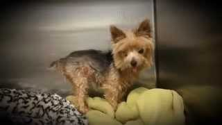 Little Bob 10 Years Old Male Yorkshire Terrier