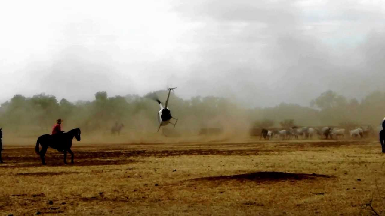 heli mustering r 44 australian outback helicopter muster cattle station