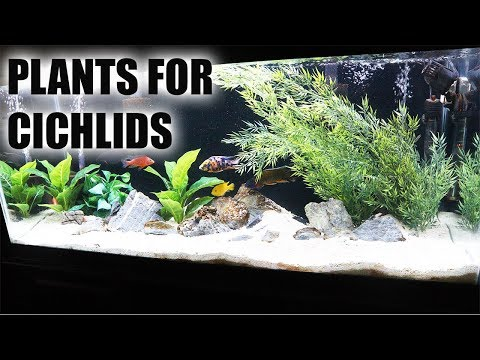 PLANTS FOR AFRICAN CICHLID FISH TANK