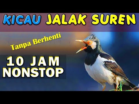10 JAM NONSTOP - SUARA KICAU BURUNG JALAK SUREN GACOR JOSS GANDHOS