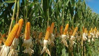 Ours Corn crop for silage +923219442750 Zain Ali farming in Pakistan