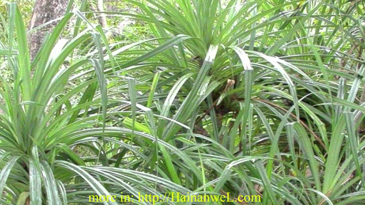 The plant pandanus candelabrum indicates a diamonds for Plants that live long